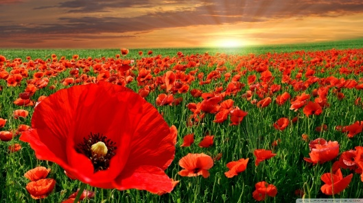sunset-poppy-field_00449586