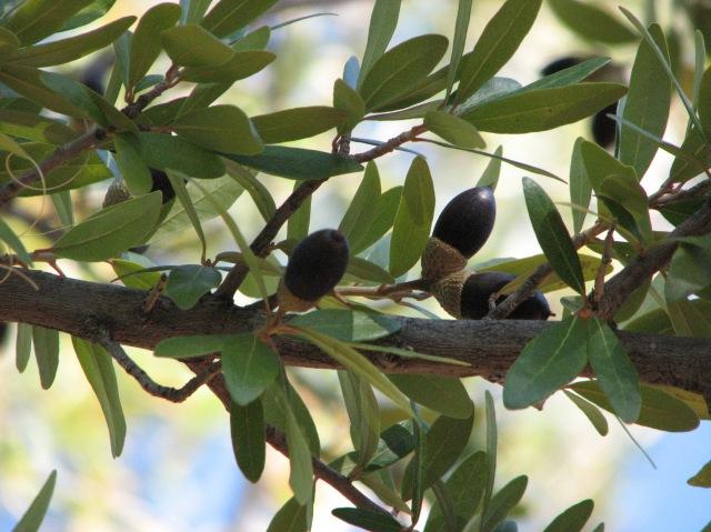 monastery-olive-tree1