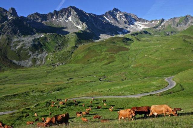alpage-et-vaches-tarentaises-agbc0759-ferme--740501T650
