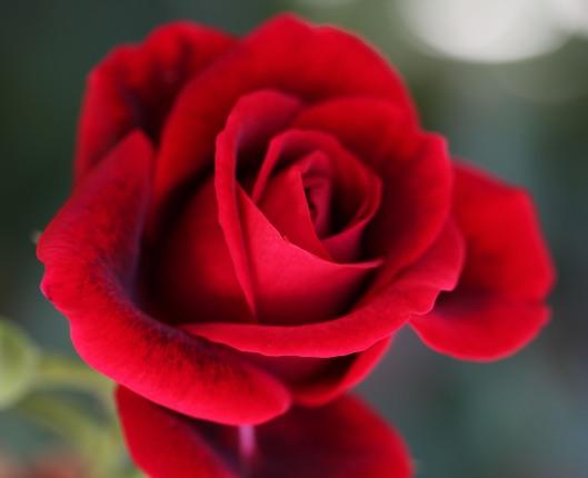 pictures-of-rose