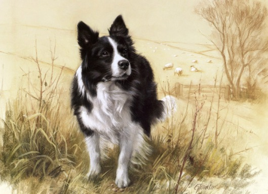 Tointon - Border Collie L