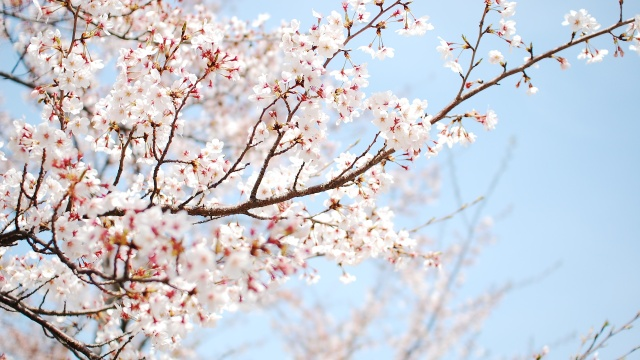 cherry-blossom-wallpaper-4